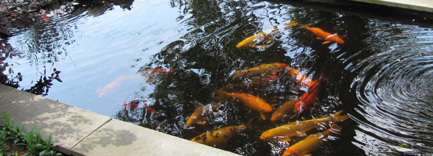 Koi ponds in cape town 021 300 3603 for Koi pond builders cape town